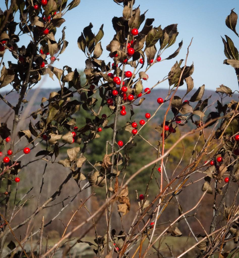 winterberry-1